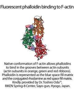 3D structure of rhodamine phalloidin bound to F-actin