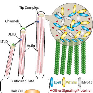 Proposed model for the tip density assembly mediated by phase separation of the tip complex.
