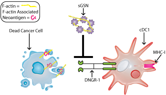 Soluable Gelsolin inhibits DNGR-1 binding to f-actin and suppresses immmunosurveillance.