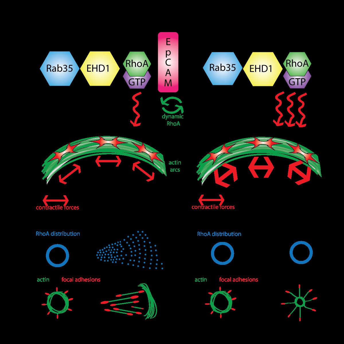 EpCAM_promotes_endosomal_modulation_of_the_cortical_RhoA