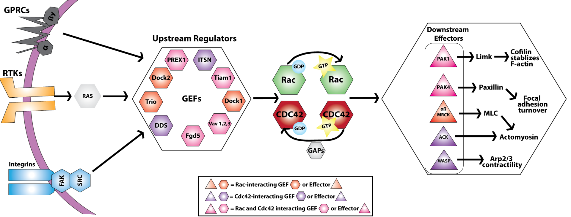 Figure legend: Upstream and downstream pathways converging on the Rac and Cdc42 axis (adapted from refs. 14 & 17).