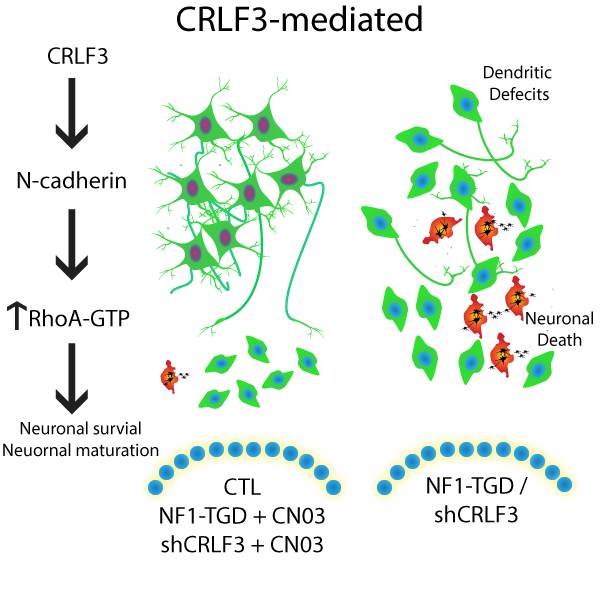 Proposed model for CRLF3 signaling to RhoA as a mechanism to regulate neuronal maturation and survival.