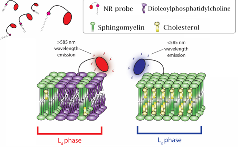 Figure 1. Diagram of NR12S's lipid order-dependent emission.