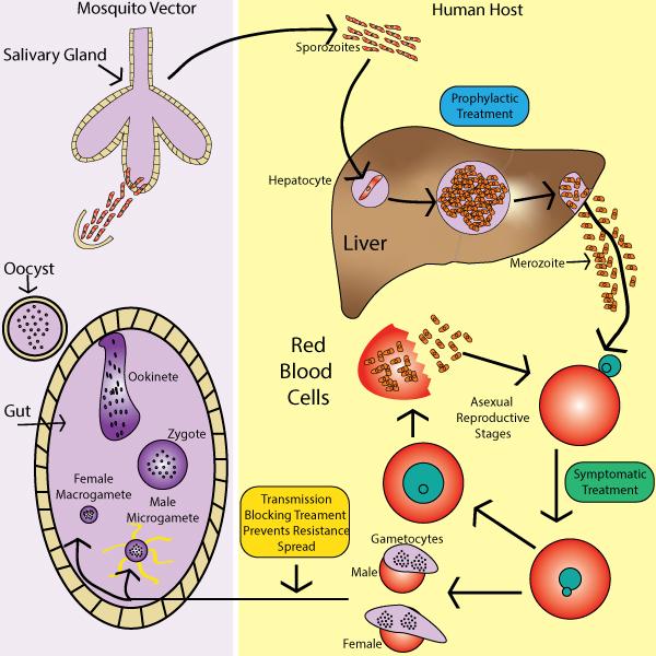Malaria-LifeCycle