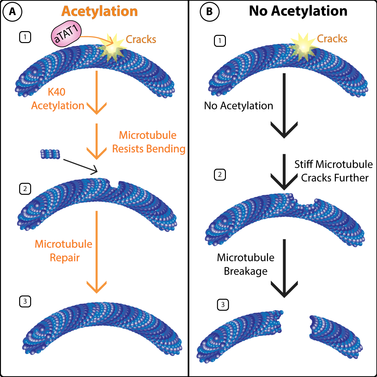 Figure 1: K40 acetylation protects microtubules from mechanical stress.