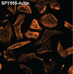 SPY555-Actin_1