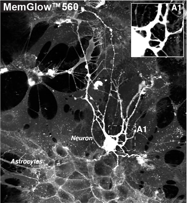 bw_neurons_over_astro