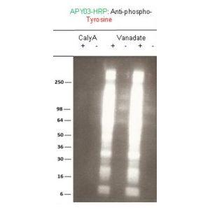 Phosphotyrosine-HRP Mouse Monoclonal Antibody 27B10