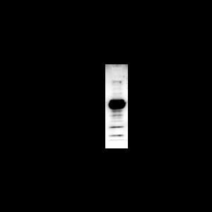 Acetyl-Lysine-HRP Antibody Mouse Monoclonal (19C4B2.1)
