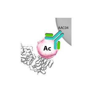 Acetyl-Lysine Affinity Beads