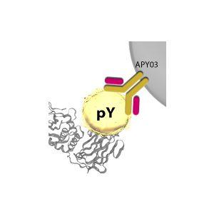 Phosphotyrosine Affinity Beads