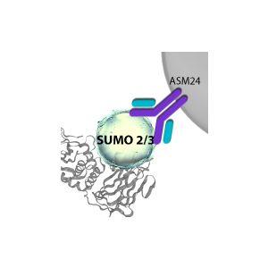 SUMOylation 2/3 Affinity Beads