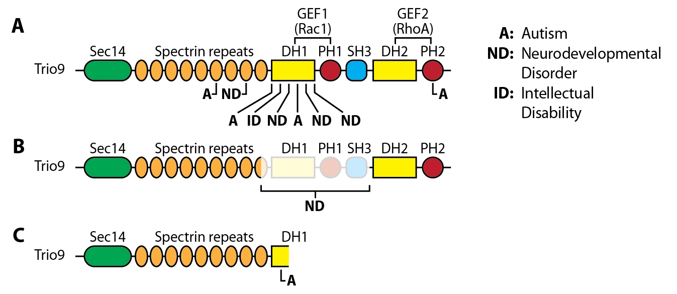 Figure 1: ASD-related mutations in the Rho-family GEF Trio. A. Missense mutations across multiple domains; B. 16 exon deletion resulting in loss of entire GEF1 domain; C. Single nucleotide deletion resulting in formation of stop codon in GEF1/DH1 domain. For each mutation, the cognitive disorder diagnosis is provided. Trio's amino acid sequence is from NP_009049.2.