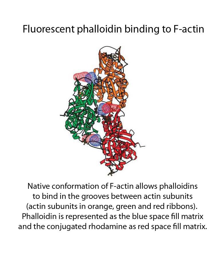 3D_F-actin_w_phalloidin_2