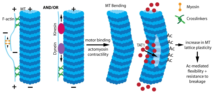 Figure 1. Acetylation (Ac)-induced MT stabilization. Actomyosin contractility and/or motor binding causes mechanical stress, leading to MT bending which allows TAT1 entry. TAT1 acetylates lysine residues, which increases MT lattice plasticity and confers increased MT flexibility and resistance to breakage.