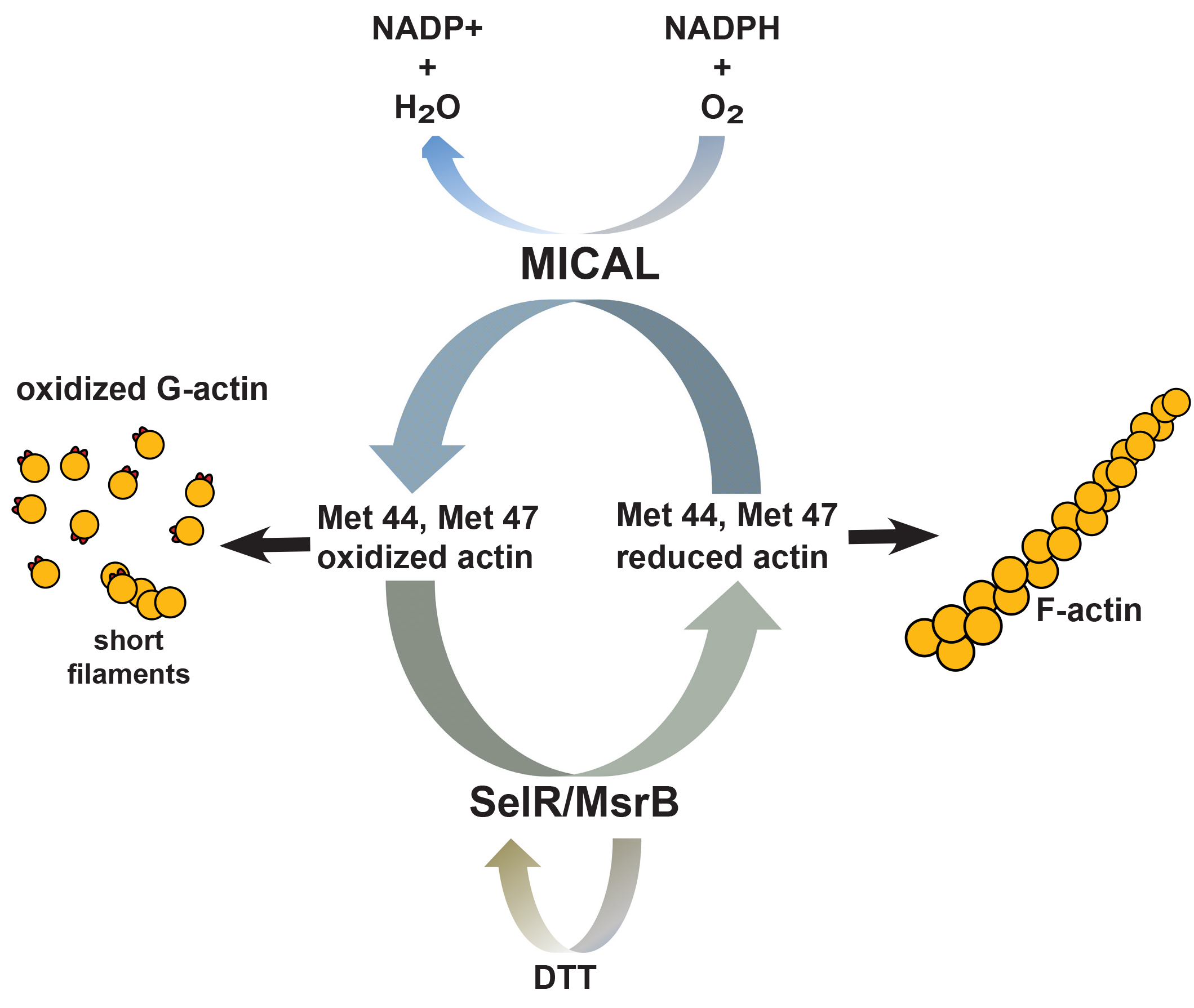 Actin MICAL-Oxidation Cycle