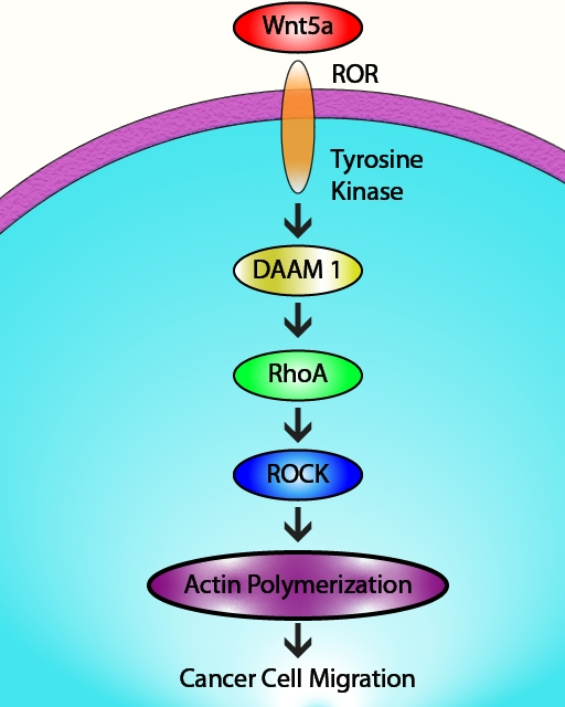 RhoA-mediated actin cytoskeleton remodeling is regulated by a Wnt5a signaling cascade.