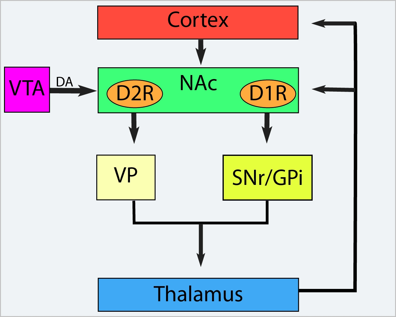 Circuitry of the basal ganglia nuclei associated with the limbic system. NAc, nucleus accumbens; VTA, ventral tegmental area; DA, dopamine; D2R, dopamine 2 receptor; D1R, dopamine 1 receptor; VP, ventral pallidum, SNr, substantia nigra pars reticulata; GPi, internal segment of the globus pallidus.