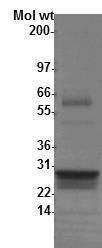 G12C K-Ras4B Protein Purity Determination.