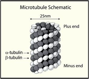 Microtubule Schematic