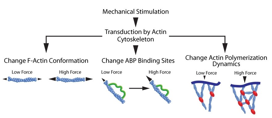 Figure 1. Actin cytoskeleton transduces mechanical forces. Mechanical loads induce a: 1. Conformational change in F-actin (left schematic); 2. Conformational change in ABPs that uncovers previously concealed binding sites (middle schematic); and 3. Alterations in ABP-mediated actin polymerization dynamics (right schematic).