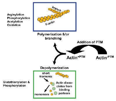 Figure 3 for Actin PTMs