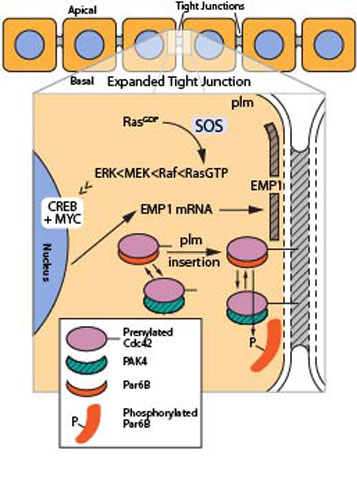 Figure-2-Tight-junction_2