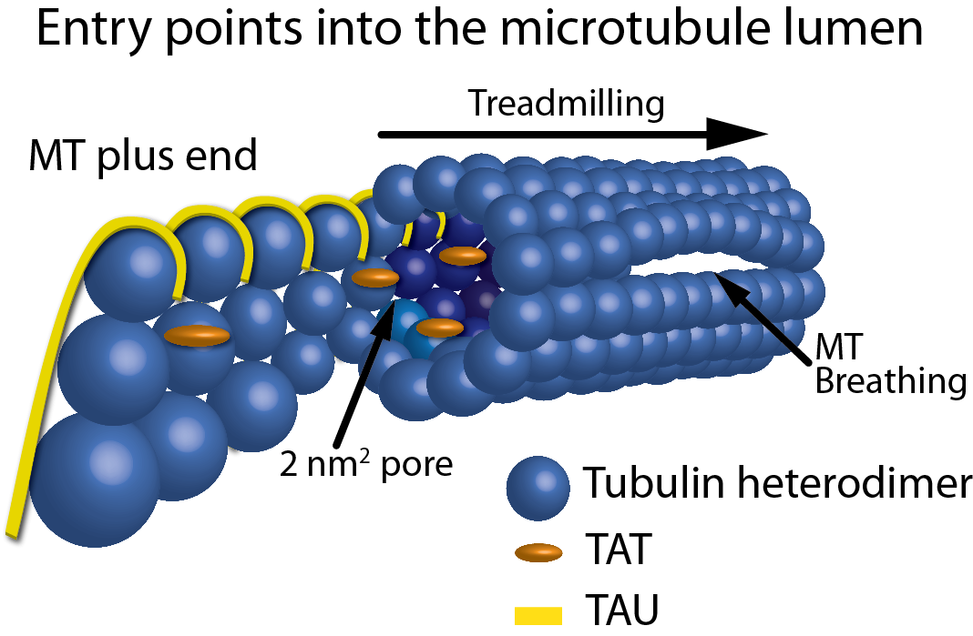 Figure 1: Schematic representation of the entry points into the MT lumen. Showing, from left to right, a frayed/growing MT plus end capturing TAT and tau molecules, treadmilling, 2 nm2 pores, a 200 nm2 open MT plus end, and a breathing MT lattice.
