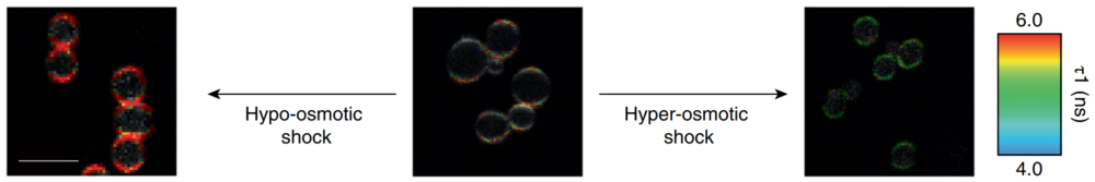 Flipper-TR staining in yeast cells