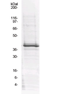 Vav1 GEF DHPHC1 protein domain SDS-PAGE