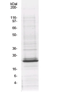 GE06_Vav2_GEF_protein_SDS-PAGE_purity_gel