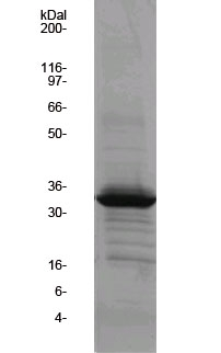 ARNO Sec7 GEF protein domain SDS-PAGE