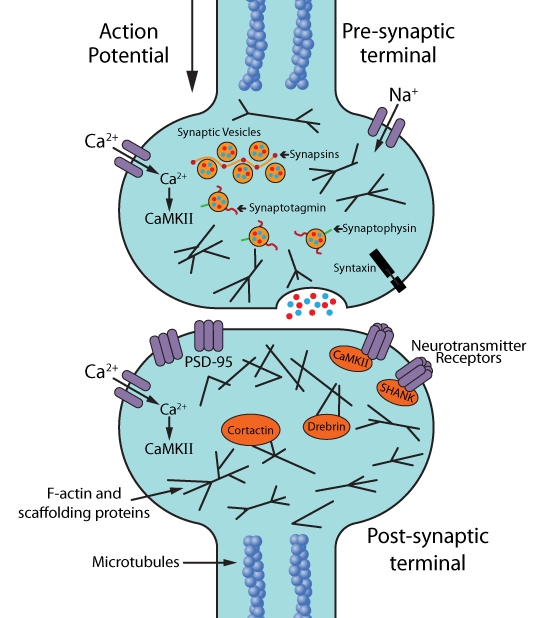 Figure 1: Molecular and cellular targets for live cell imaging of neurons: synapses, synaptic activity, and synaptic plasticity.