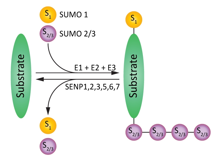 Figure 1. An outline of SUMOylation and deSUMOylation processes.