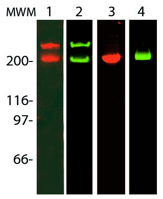 Fluorescent fibronectin and laminin analyzed by SDS-PAGE