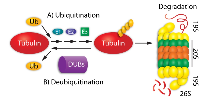 Figure 1. An illustration of the UPS-mediated tubulin degradation.