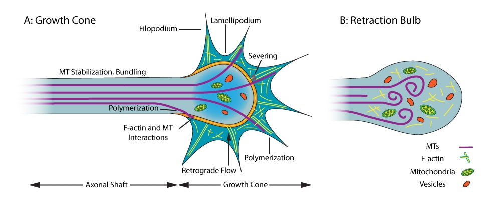 Figure 1. MT and F-actin cytoskeleton organization in growth cones and retraction bulbs in neurons. In regenerating axons (left panel), stable MTs are in the shaft (C-domain), while the growth cones contain dynamic MTs and F-actin (P-domain). The dynamicity of MTs and F-actin enables the formation and extension/withdrawal of lamellipodia and filopodia which are necessary for axon elongation. Retraction bulb (right panel) formation at the tip of the damaged axon prevents axon regeneration. In the bulb, the separate domains are lost, and the MTs are either depolymerized or disorganized.