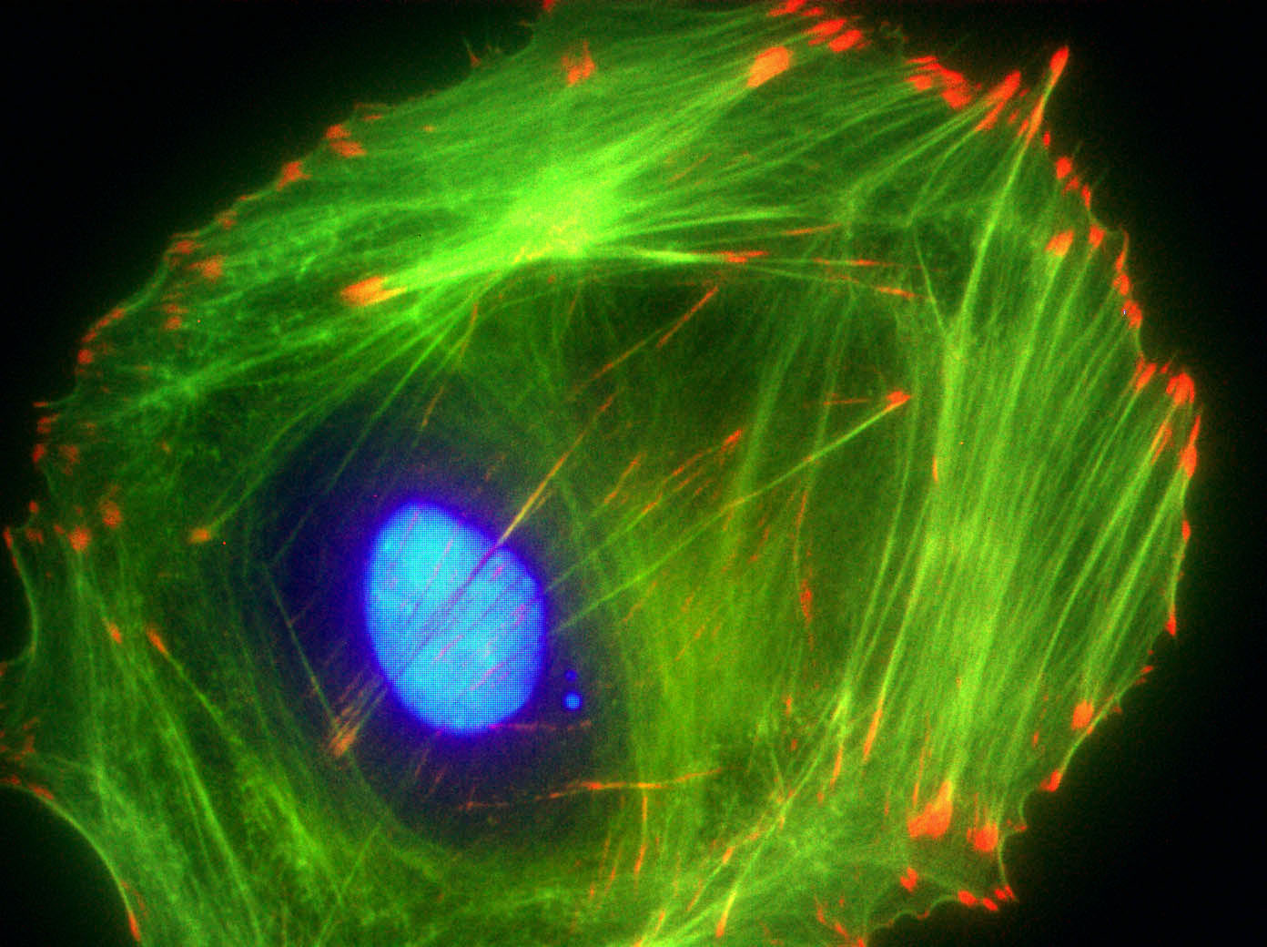 Swiss 3T3 cell stained with anti-vinculin (red), Dapi (blue nucleus) and F-actin is stained with Acti-stain™ 488 (green F-actin, Cat.# PHDG1).