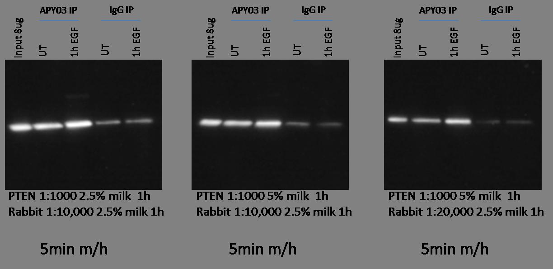 PTEN_antibody_optimization