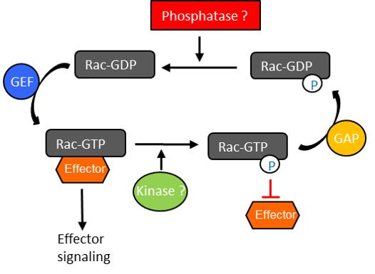 Phosphorylated Rac1 Modified GTPase Cycle