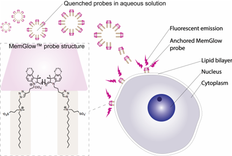 Figure 1. Turn-on mechanism of MemGlow™ probes. MemGlow™ probes are self-quenched nanoparticles until integration with the plasma membrane enables their excitation.