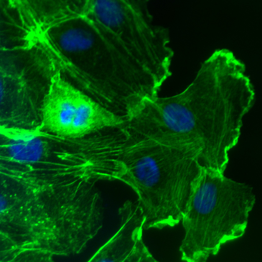 Rac activation in Swiss 3T3 fibroblasts. F-actin is visualized with fluorescent green phalloidin staining (Cat.# PHDG1). DAPI is the blue nuclear stain. Phalloidin staining shows F-actin-rich lamellipodia. Cells were activated with Cat.# CN04.