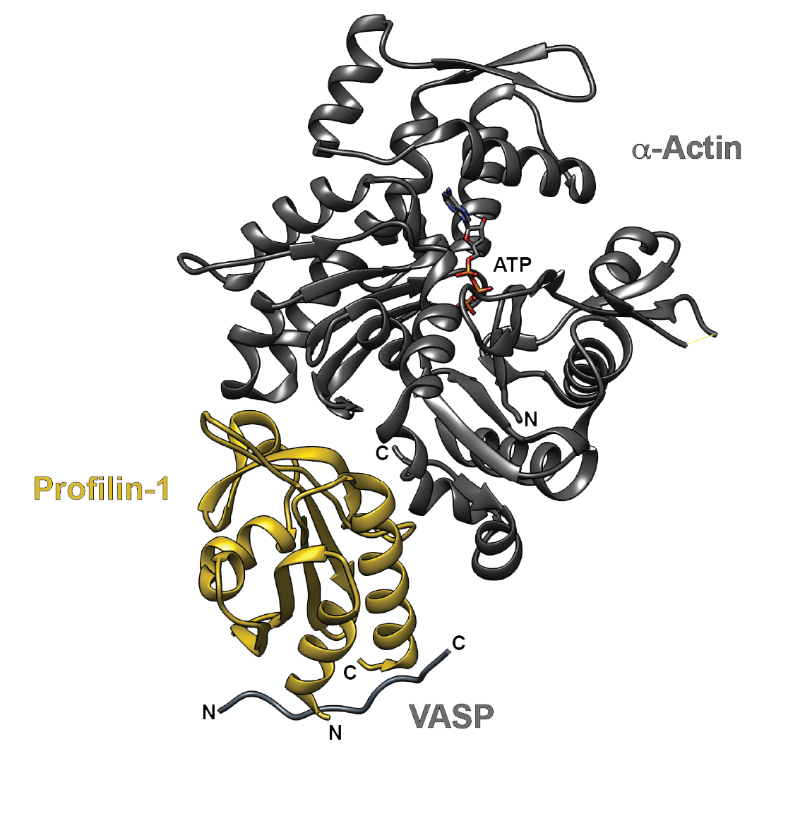 Figure 1. The crystal structure of human profilin-1 (yellow) bound on opposite sides to α-actin (grey) and the peptide from the poly-proline site of human VASP. Image was created with UCSF Chimera30 (PDB 2PAV).