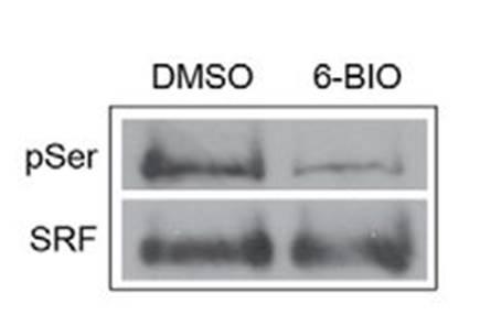 SRF_IP_antibody