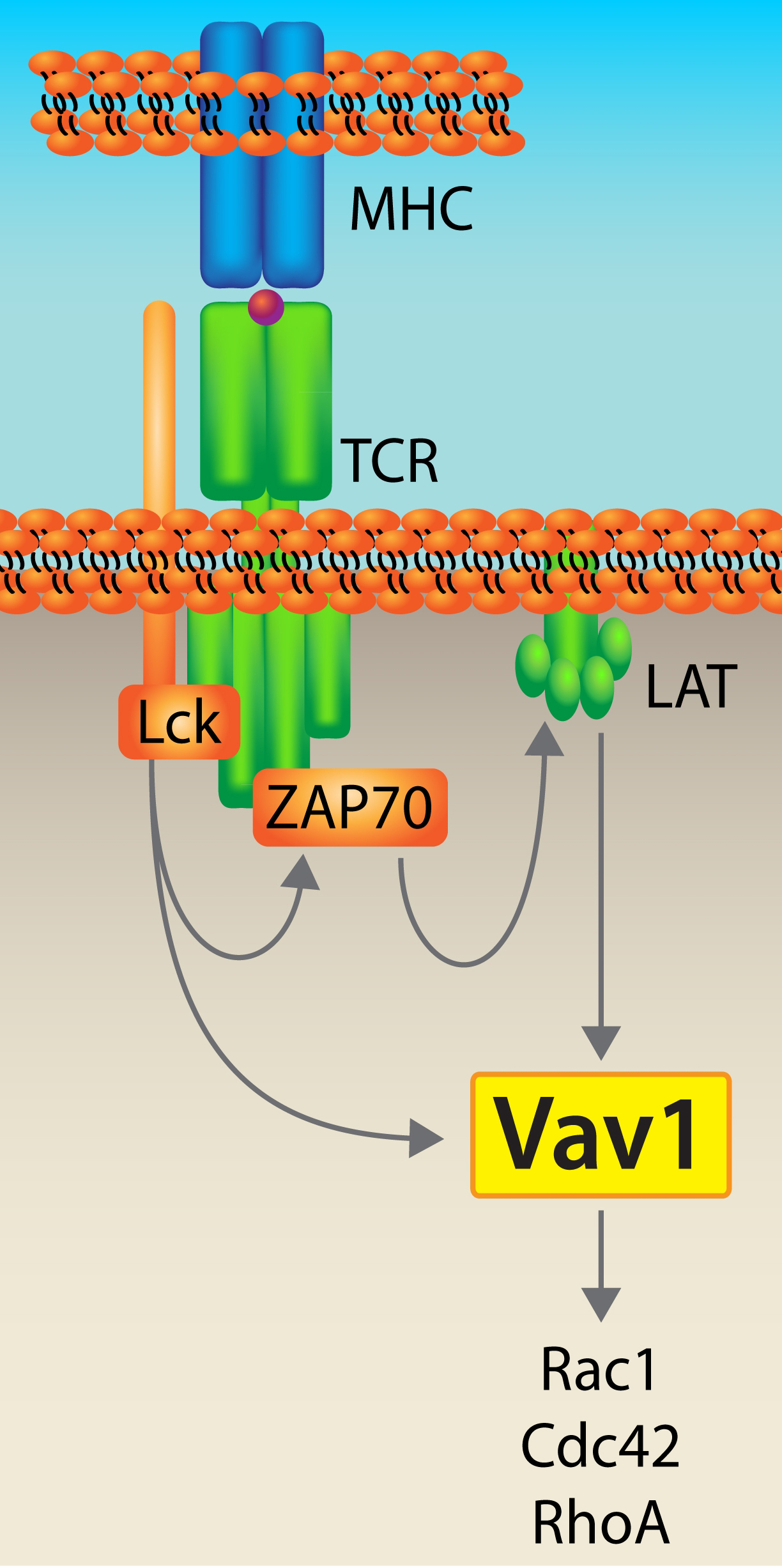 Vav1 GTP Exchange Factor (GEF) of Rac1, RhoA and Cdc42.