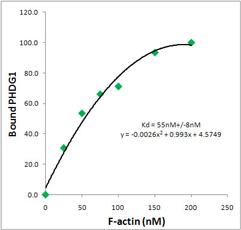 Binding affinity of fluorescent phalloidin to F-actin