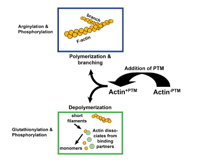 post-translational-modification-affects-on-actin_1