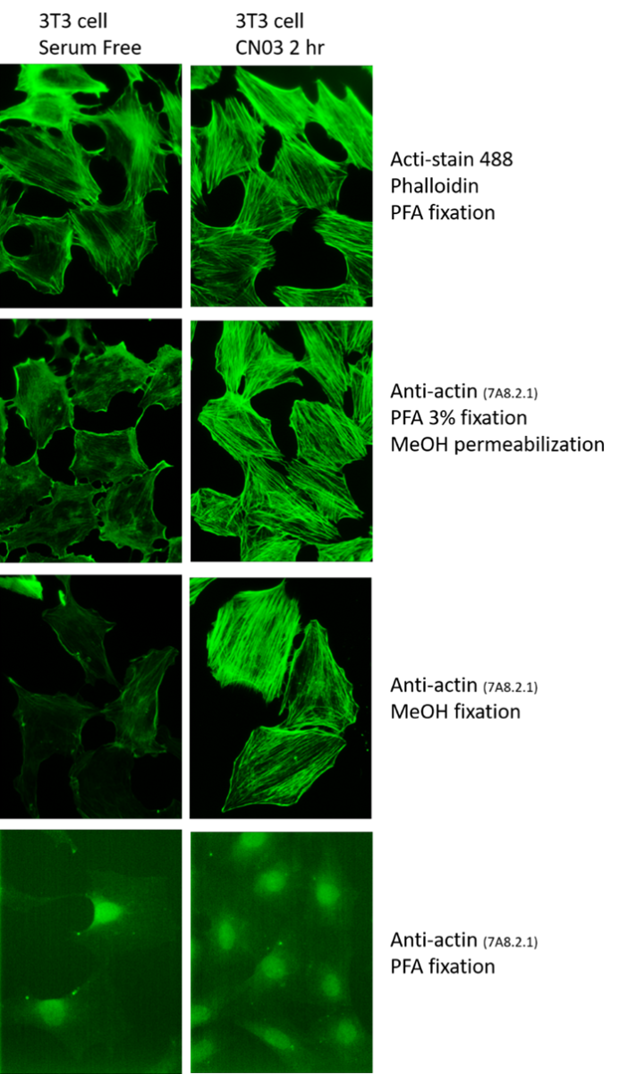 actin_antibody
