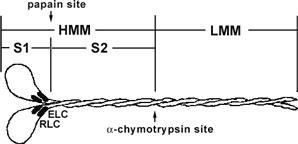 myosindrawing