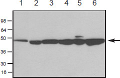 Western Blot of AAN01